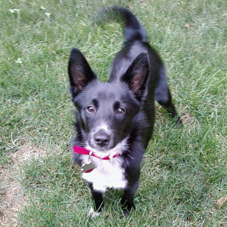 Currently a Schipperke mix, rescued from a puppy mill and a purebred ...